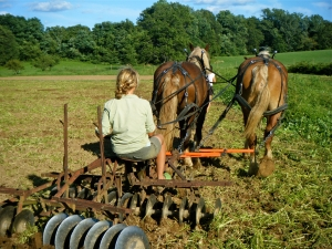 Disc harrowing buckwheat